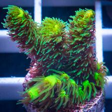 Unique Corals Wysiwyg, Tenius with potential