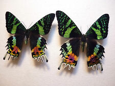 Real Dried Insect/Butterfly/Moth Non-Set..2 X Large Urania ripheus. 8 cm to 9 cm