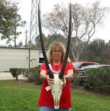 South African Gemsbok/Oryx Full Skull with 34+ inch Horns Taxidermy #39677