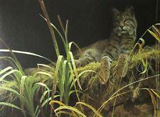 Robert Bateman Art Print Riverbank Retreat Bobcat 2003 Wild Cat Catamount Grass