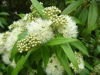 LEMON MYRTLE SEEDS BACKHOUSIA CITRIODORA SCENTED FLOWERING INSECT REPEL 80 SEEDS