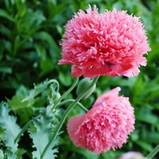Pink Peony Poppy Flower 100+ Seeds, Annual for Gardens, Fresh bouquets, Weddings