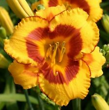 Daylily Plant FOOLED ME Perennial Reilly-Hein Yellow Red 2 Fans Flower