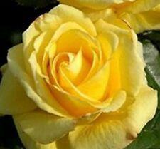 Roses For Sale Ebay