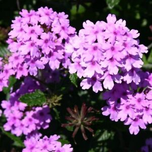 3x Verbena Seabrook's Lavender Hardy Perennial Flower Well Rooted Plug Plants
