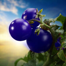 50pcs Purple Cherry Tomato Seed Heirloom Garden Vegetable Seeds Organic Plant
