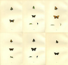 6 Morris Antique Butterfly prints 1870 Hand coloured   Lot 1