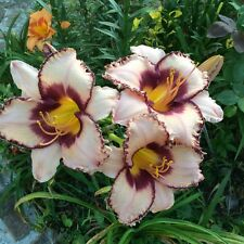 100 Daylily Seeds Mixed Colors