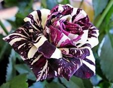 10 semi ROSA BLACK DRAGON - rosa rarissima seeds