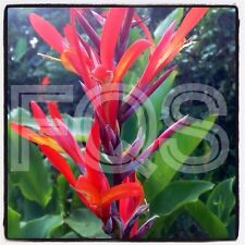 15 X Tropical Canna Seeds Red/Yellow Flower (Tall Plant)