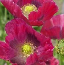 Papaver - Hens & Chickens - 750 Seeds
