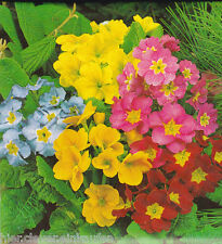 Gartenprimel Primula elatior Bunte Mischung winterhart ca. 150 Korn / Seeds