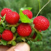 Walderdbeere 500 Samen Fragaria Vesca Rot Wald Erdbeere Monatserdbeere Heiß X6P9