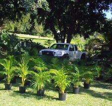 Areca green Palm  o  Areca  seeds  20