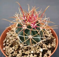 Ferocactus crysachanthus red spines 10 cm pot on roots