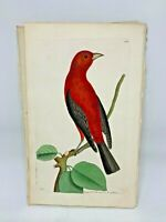 Brasilian Tanager - 1783 RARE SHAW & NODDER Hand Colored Copper Engraving