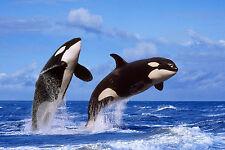 Ansichtskarte: springende Schwertwale - breaching Orcas