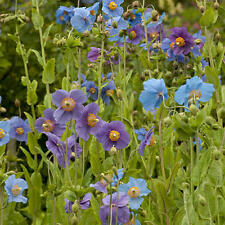 Meconopsis Baileyi 'Shades of Blue' - 50 Seeds - Hardy Perennial Flower