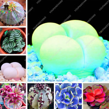 120 Pcs Seeds Rare Succulent Rainbow Plants Cacti Bonsai Pseudotruncatella Mixed