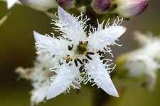 Menyanthes trifoliata (Bogbean) native marginal pond plant.