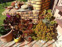 lot===2grandes branches de ces plantes ,reprise façile avec beaucoup de rosettes