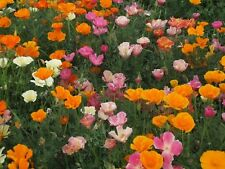 Poppy- Mission Bell Mix- 500 Seeds