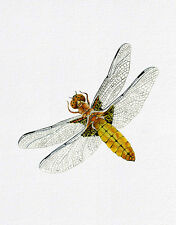 Broad Body Chaser Dragonfly Watercolour Painting Signed Limited Edition Print