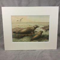 1894 Print Leopard Seal Pup Sea Life Marine Natural History Antique Original