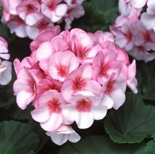 Flower - Geranium - Horizon F1 - Star - 10 Seeds