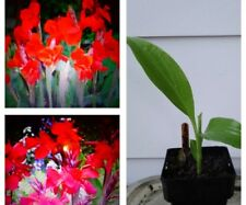 Red Canna Lilly
