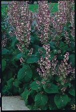 Herb-Clary Sage-Salvia sclarea - 200 Semillas
