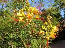10 Semillas - Poinciana - CAESALPINIA GILLIESII - Samen - Semi - Seeds