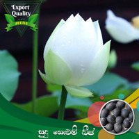 CeylonExpress - Export Quality White Lotus Seed 05 PCs For Potted Planting