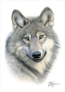GREY WOLF colour pencil drawing print A4 / A3 signed by UK artist artwork