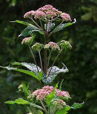 joe pye weed PINK flower perennial, ATTRACTS BUTTERFLIES, 330 seeds! GroCo*