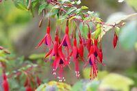 Garten Pflanzen Samen  Zierpflanze Saatgut Rankpflanke Blume FUCHSIE