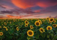 A1 | Art Poster Of Pretty Sunflower Sunset 60 x 90cm 180gsm Field Gift#14370