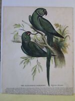 Vintage Print,ALEXANDRIA PARRAKEET,Society Christian Knowledge.c1857