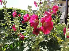 100 graines de rose trémière