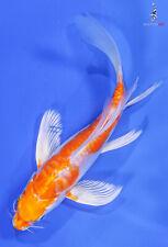 "New listing 5.5"" KIKUSUI Butterfly Koi live fish nextdaykoi NDK"