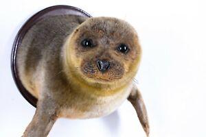 Taxidermy Baikal Nerpa Mammal Real Stuffed animal mount
