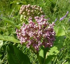 Common Milkweed 2000 seeds Asclepias syriaca Native wildflower for Monarchs