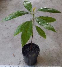 "New listing Persea Americana 'Mexican Avocado': Live Plant 24-28"" Tall: 1 Gallon Pot!"