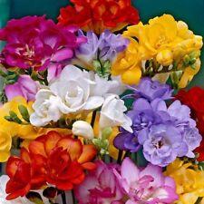 100 Blumenzwiebeln Gefüllte Freiland - Freesien Mischung, Zwiebelgrösse  7-8