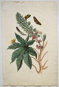Maria Sybilla Merian: Ricinus Americanus. [1705]. Kolor. Original-Kuperfstich.