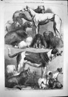 Old Antique Print 1862 Prize Dogs Exhibition Agricultural Hall Islington 19th