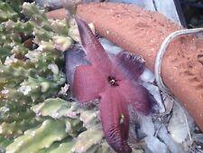 Stapelia seed Starfish Cactus Succulent lily voodoo amorphophallus bonsai dragon