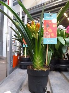 Clivia Miniata ORANGE - 12cm Pot - £14.99 Plus Postage