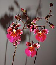 Oncidium Princesse Stars Pot en Argile Sélection Floraison Forte Orchidées Vanda