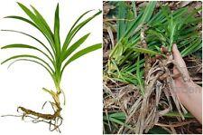*UNCLE CHAN* 2 rhizome Pandan Leaves Pandanus amaryllifolius Healthy for plant